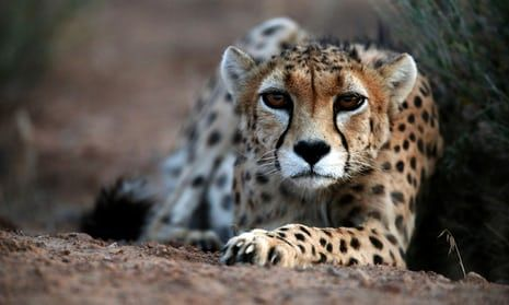 Asiatic cheetahs on the brink of extinction with only 50 left alive...A male Asiatic cheetah.