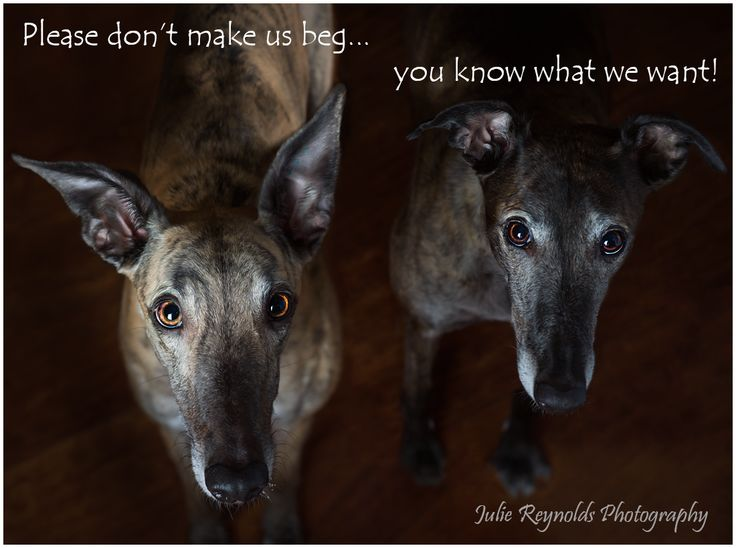 Greyhound Dog Rescue Cincinnati