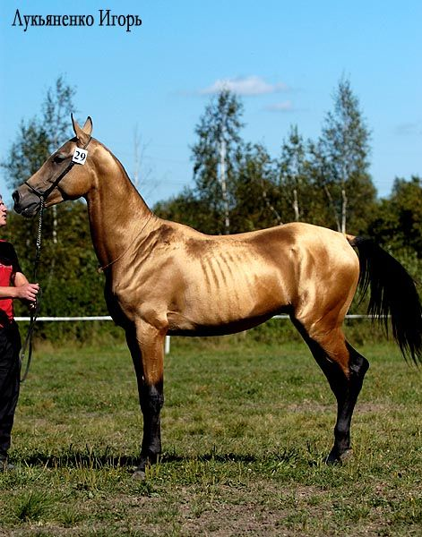 Akhal Teke (golden buckskin) The worlds rarest horse with only 6600 alive today. The coat is pearl like and can be see in the dark!