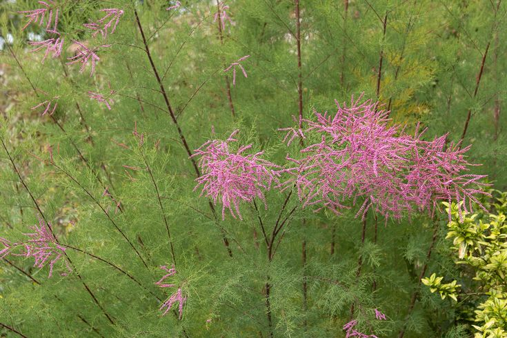 Plant profile for Tamarix ramosissima 'Pink Cascade', or tamarisk, with detailed growing advice and planting combinations – from BBC Gardeners' World Magazine.