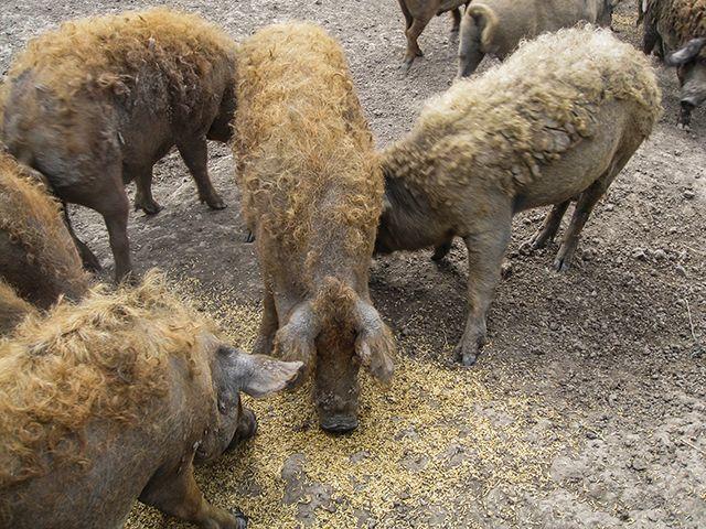 Mangaliza - ungarische Wollschweine im Nationalpark Hortobágy in der ungarischen Puszta.