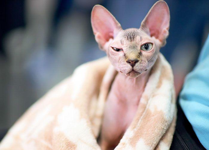 Mulher fica chocada após descobrir que seu gato sem pelos Sphynxs de $700 na verdade é um gato comum