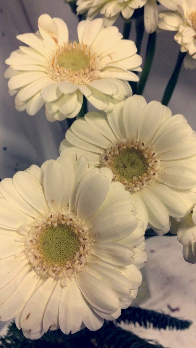 hvit germini med lyst aue