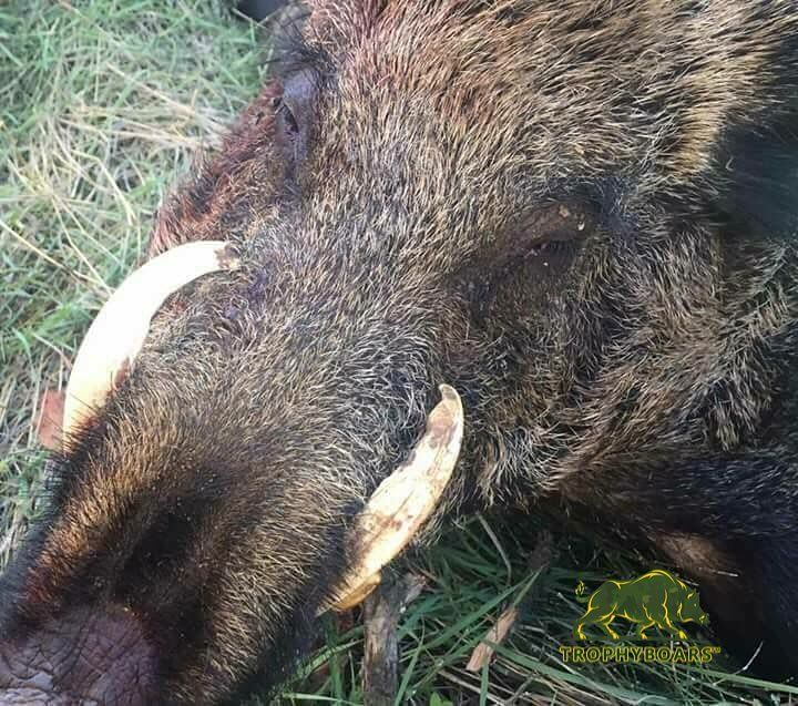 Extraordinary trophy from Romania ���� ✅join our family Visit www.trophyboars.com Link in bio #wildboar #boar #russianboar #hog #tactical #game #sanglier #hunt #hunter #hunting #trophy #trophyboars #allornothing #sports #mountains #camo #outdoors #wildlif