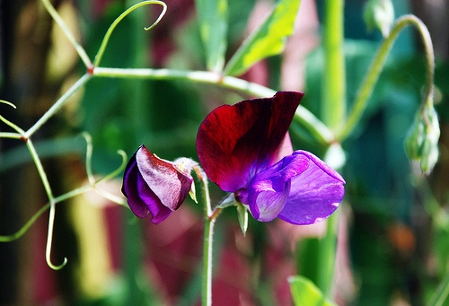 Sweet Peas: Sweet Pea Flowers, Outdoor Living, Farms Sweet, Sweet Peas, Favorite Flower