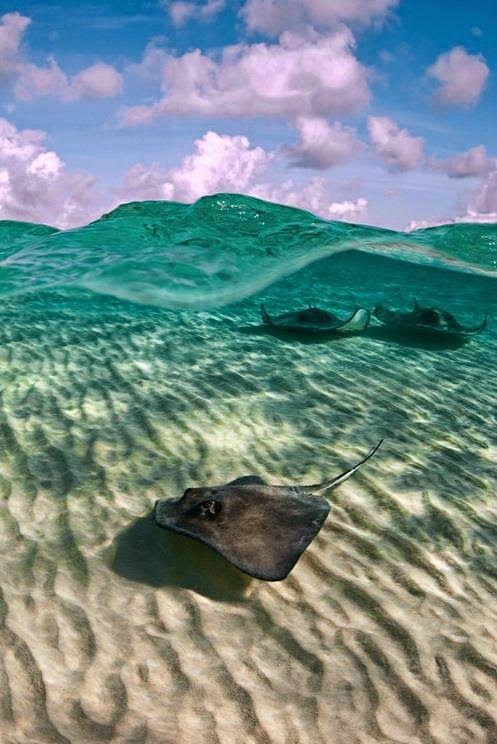 Gorgeous Shot of #Stingrays. Photo by Paul Colley #Miessence #CertifiedOrganic