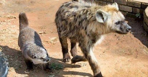 親に捨てられたカワウソの新しい家族はハイエナやライオン 7枚   BUZZmag