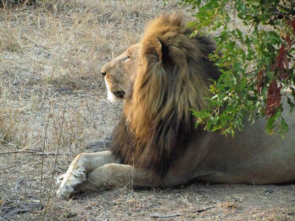 www.sunsafaris.com #africa #the #good #wildlife #lion #klaserie #kruger #nthambo #tree #camp