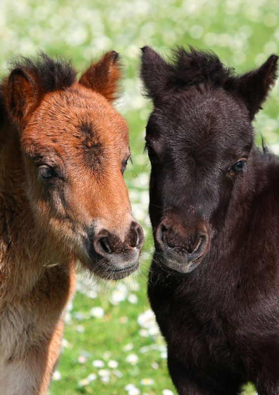 Two Shetland pony foals playing...