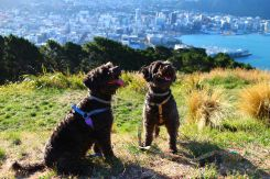 Zee.Dog Harnesses // #Dog #NewZealand #Schnoodle