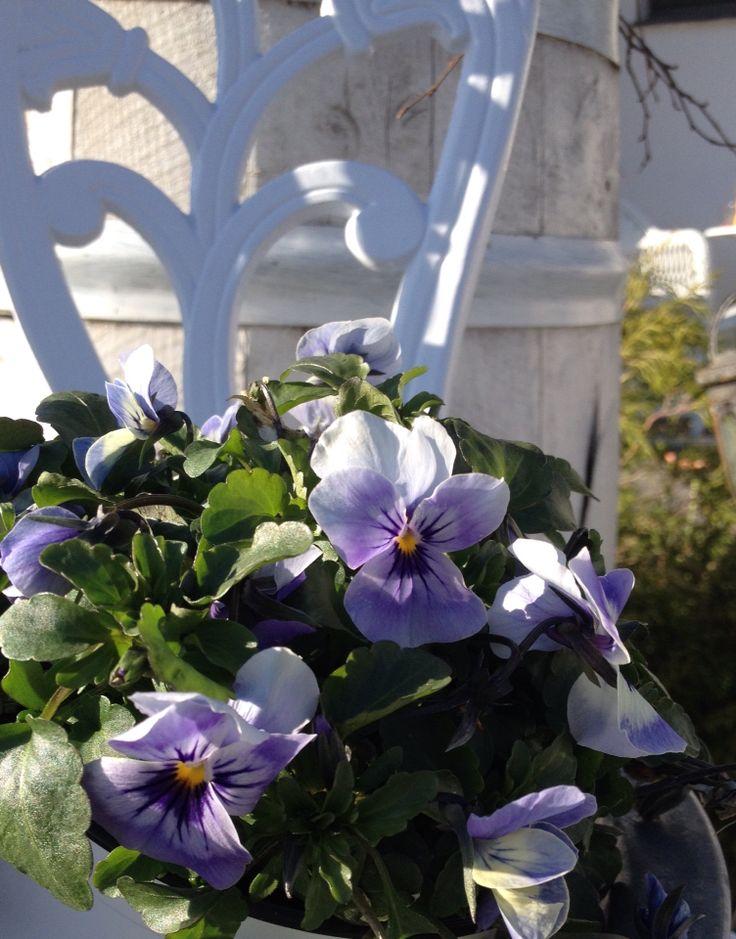 A beauty in my garden  Catharina S.