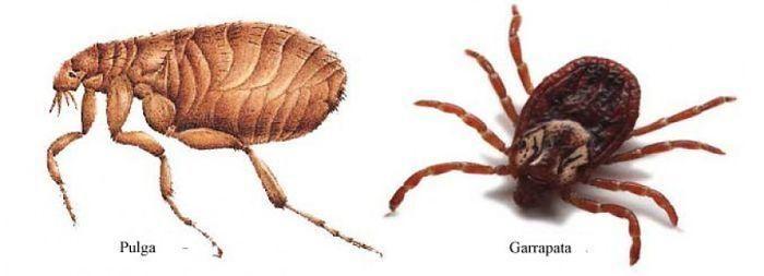 ¡Cuidado con las pulgas! Descubre qué son, los tratamientos y todos los consejos