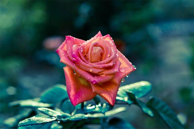 50 Beautiful Free HD Flower Wallpapers