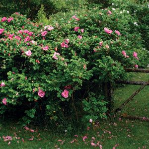 Informal hedging ideas. rosa_rugosa