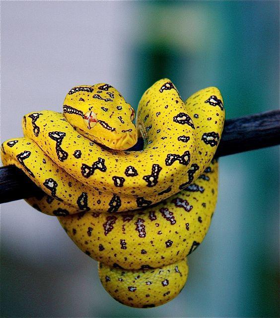 Beautiful Yellow Snake Tiene su lugar en el mundo y lo embellece