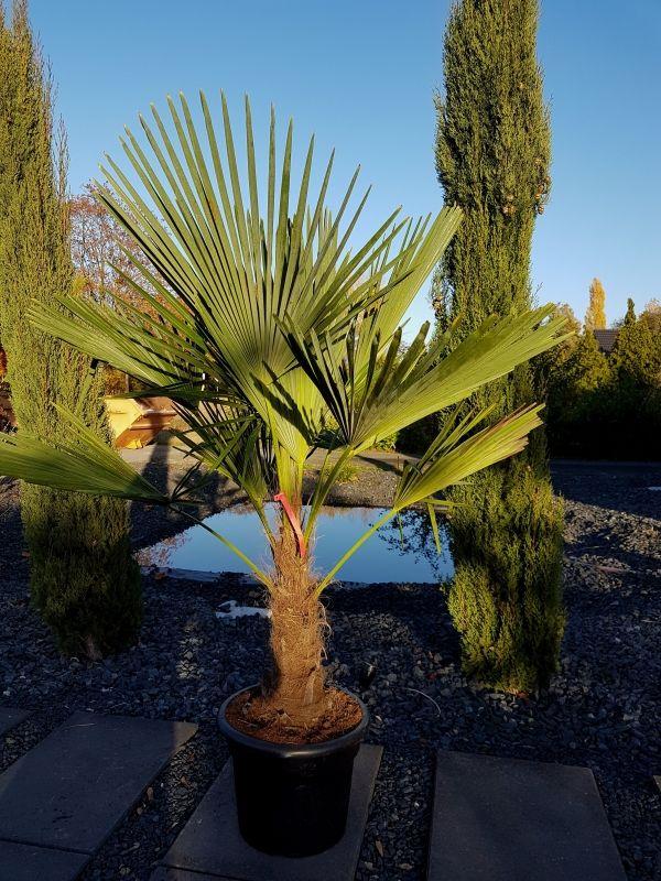 Winterhare Hanfpalmen Kaufen Plants