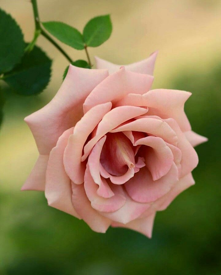 красивая картинка цветов чайная роза теплых