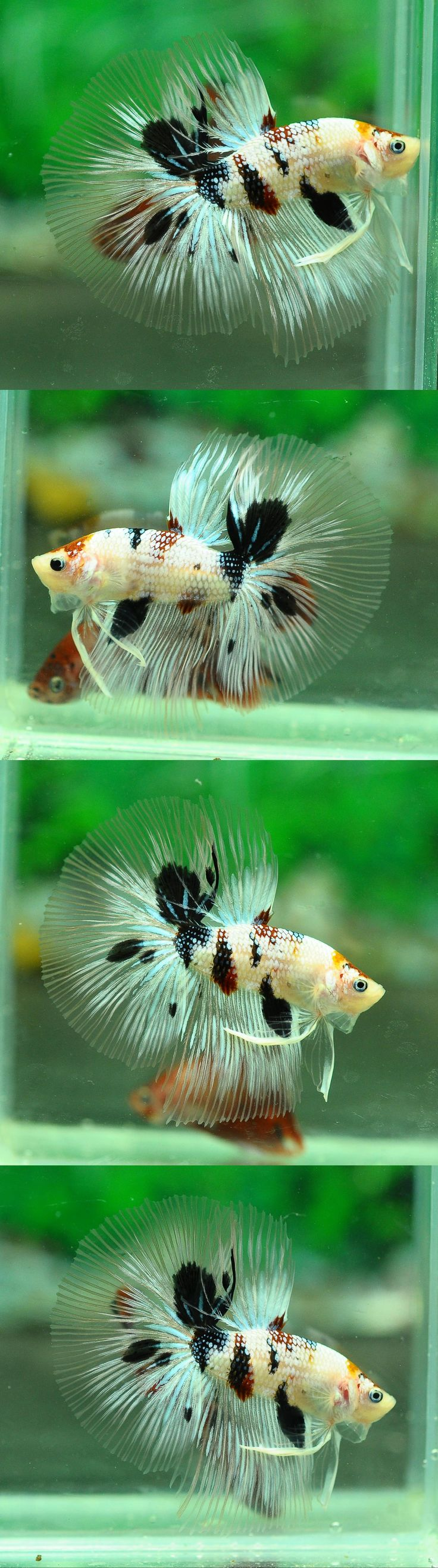 710 best Betta Fish images on Pinterest | Fish aquariums, Fish tanks ...
