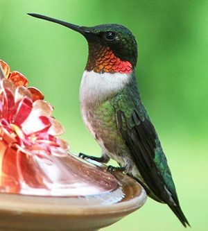 """Although there are 300 kinds of hummingbirds, the ruby-throated is the only one common throughout the Midwest."""