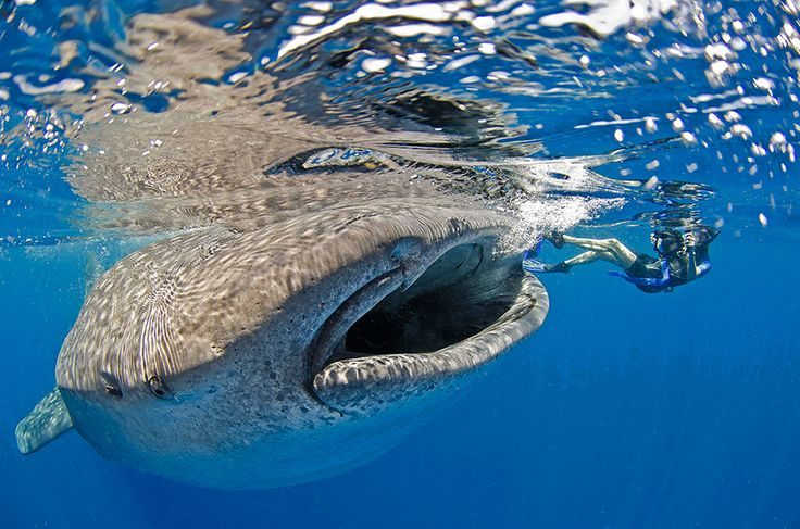 Photo of the Day: Feeding a whale shark  Photo by: Christopher Doherty (North Palm Beach, Florida); Isle Mujeres, Mexico