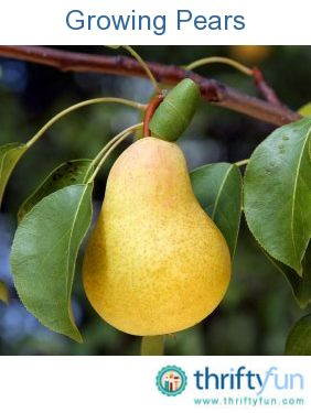 This is a guide about growing pears. A pear tree can can be a wonderful addition to your garden. Your family and friends will love to enjoy your harvest of the these sweet and delicious fruit.