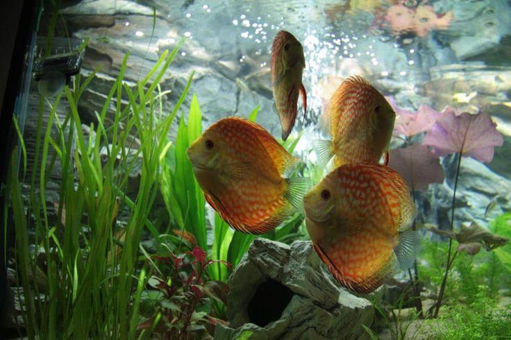 125 Best Aquariumvissen Images On Pinterest Discus