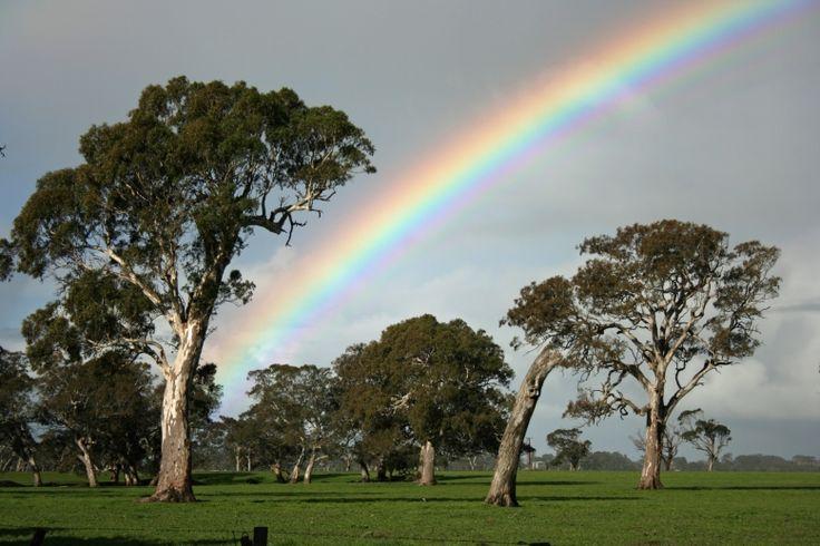River Red Gum Eucalyptus camaldulensis