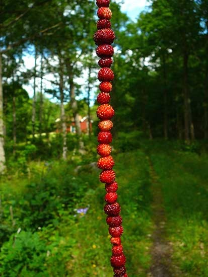 Wild strawberries on a straw. That's pure summer for me.
