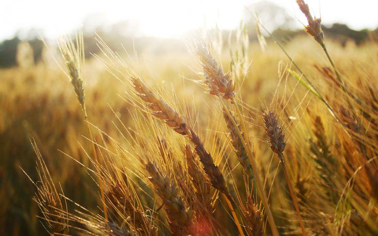 Скачать обои пшеница, колосья, поле, трава, макро природа, колоски, раздел макро в разрешении 1680x1050