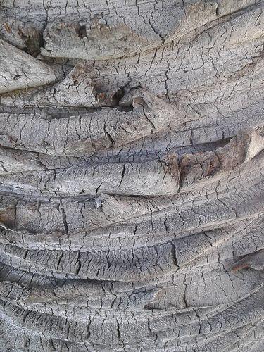 Palm Bark