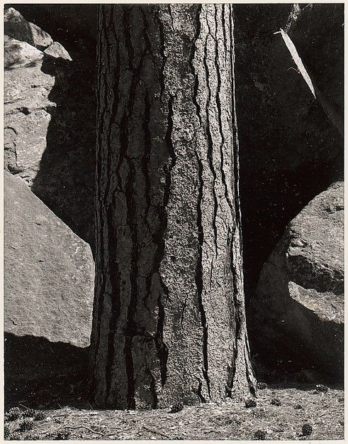 ansel adams pine tree - photo #2
