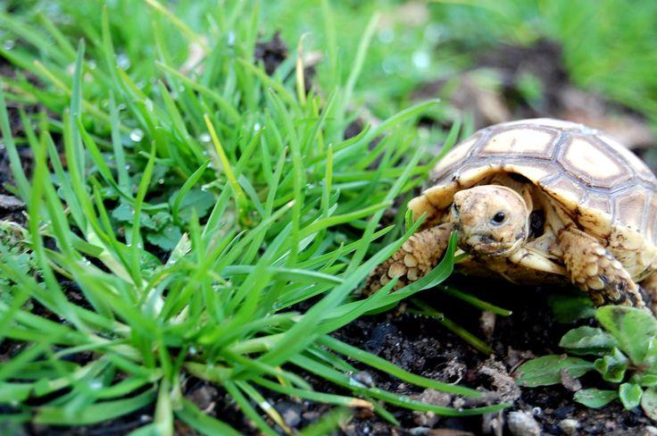my new baby sulcata tortoise. LOVE him! Sulcata tortoise
