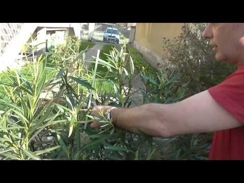 Leander tavaszi metszése, táplálása - YouTube