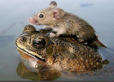 野ネズミ君のお引越し。  マウス+乗馬+ヒキガエル