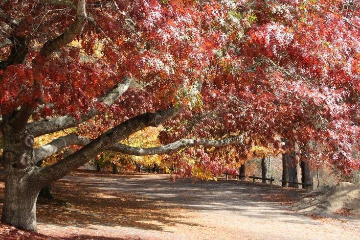Autumn leaves at Mount Lofty South Australia.
