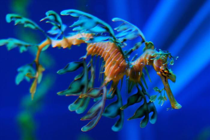 Este é o dragão-marinho-folhado, ou dragão-marinho-frondoso. Ele é um mestre da camuflagem, escondendo-se no meio das plantas e protegendo-se dos predadores.