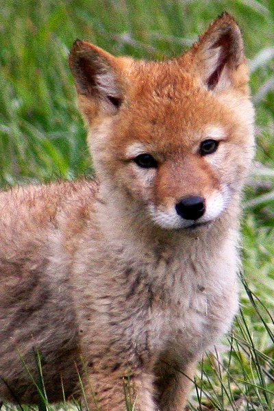baby coyotes picture - 400×600