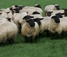 suffolk sheep - Google Search