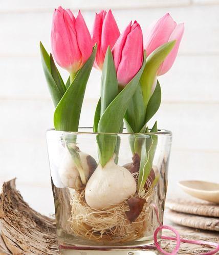 Tulpen-Cocktail: Tulpen aus dem Topf nehmen, Zwiebeln abspülen und in ein Glas setzen. Nur so viel Wasser einfüllen, dass die Wurzeln gerade bedeckt sind.