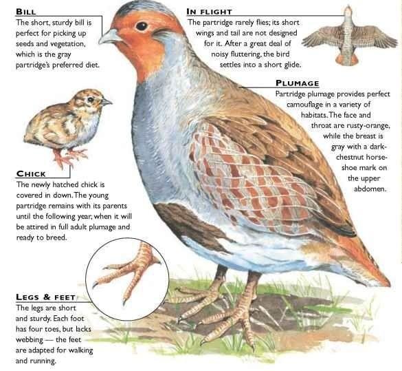 Grey partridge illustration