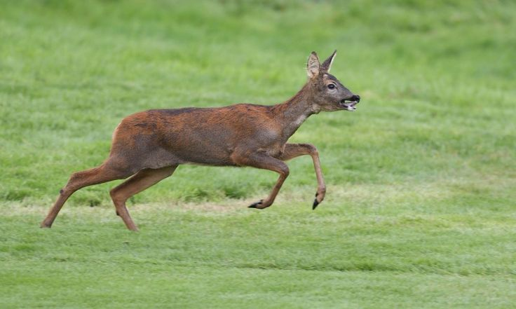 Cross Counter Runners Gets Absolutely Wrecked By A Deer During Race