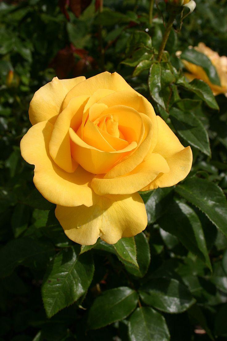 'Keep Smiling' | Hybrid Tea Rose. Gareth Fyers, 2004 |  Flickr - © Angelina Moser
