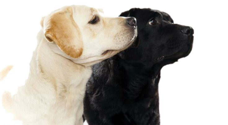 The Labrador Retriever is the most popular dog breed in America. We have several…