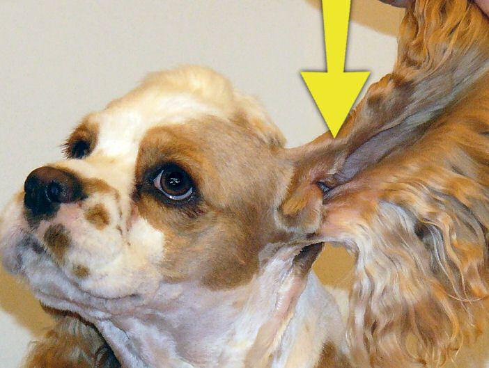 Cocker Spaniel Ear Cleaner Recipe - Ear Infections