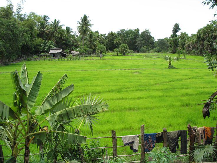 Pursat rice field
