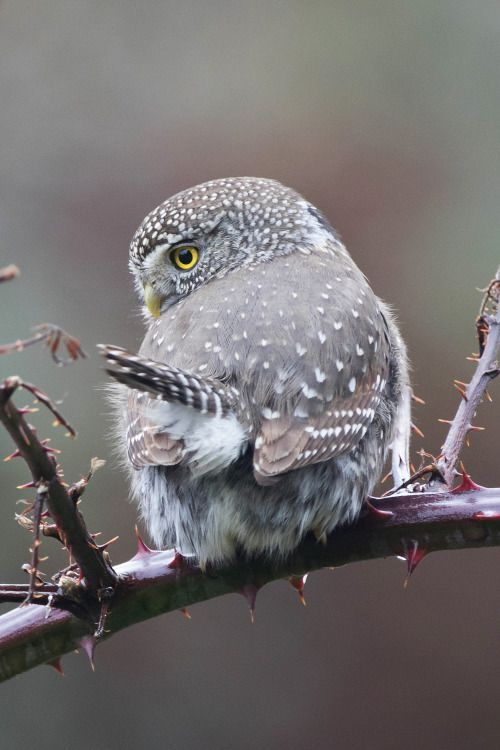 Pin by Jeff Taylor on owl energy Owl, Beautiful owl, Pet