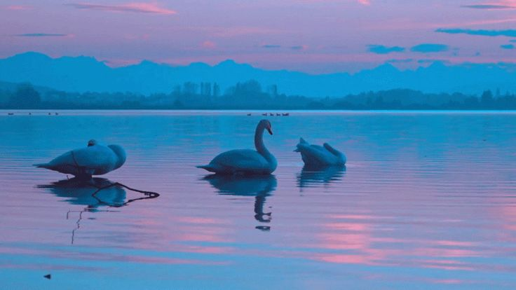 gif photos swans