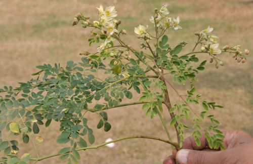 Today's post is about the 10 amazing benefits of moringa leaves during pregnancy and motherhood