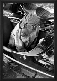 Dog in Motorcycle Sidecar Close-Up Archival Photo Poster Print http://www.allposters.com.au/-sp/Dog-in-Motorcycle-Sidecar-Close-Up-Archival-Photo-Poster_i8839856_.htm#