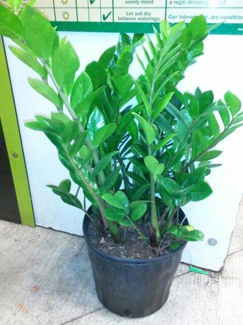 Zz Plant Grown By Hampshire Farms Plants Pinterest